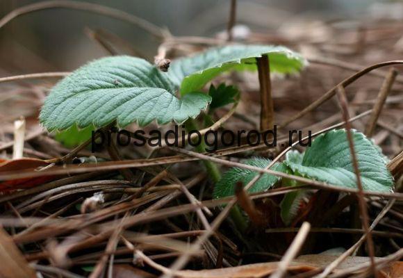 саженцы клубники из семян