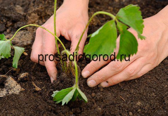 уход за рассадой клубники