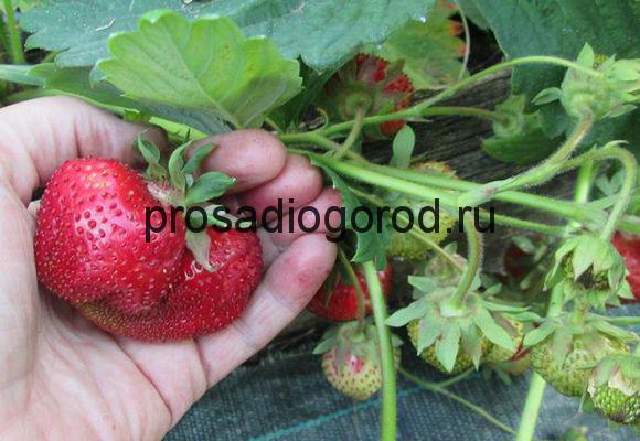 Где можно купить ягоды можжевельника