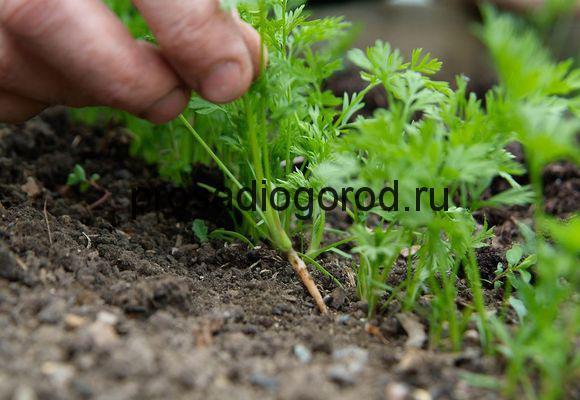 посев моркови без прореживания Произведения