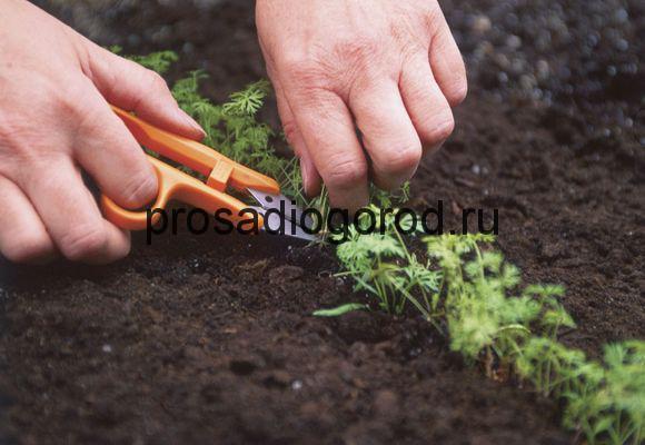 правильно проредить морковь