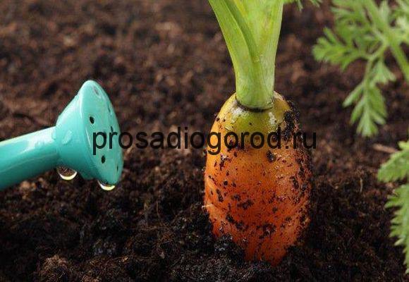 правильный полив моркови