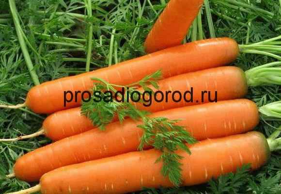 выбор сорта моркови для посадки