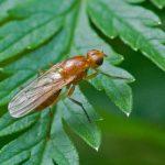 морковная муха методы борьбы