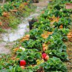 обработка клубники осенью