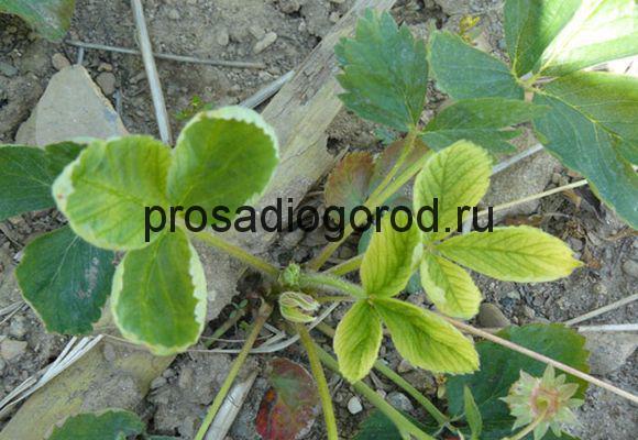гербициды от сорняков для клубники