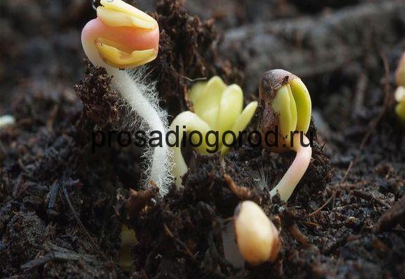 проращивание семян редиски