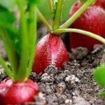 выращивание редиса под зиму