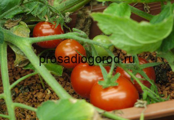 оптимальный режим для томатов