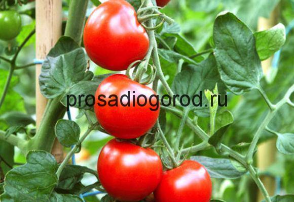 красные помидоры в теплице