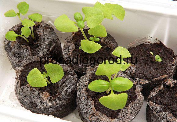 базилик из семян