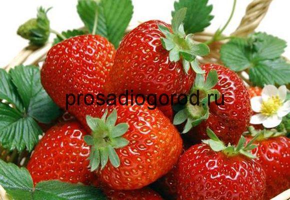 ягоды земляники зефир описание