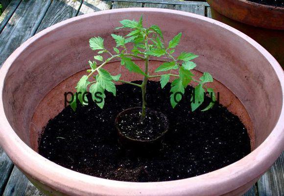 крепкая рассада томатов