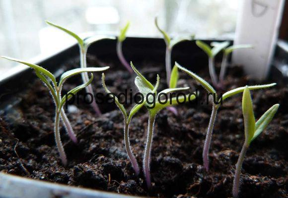 молодые ростки помидор