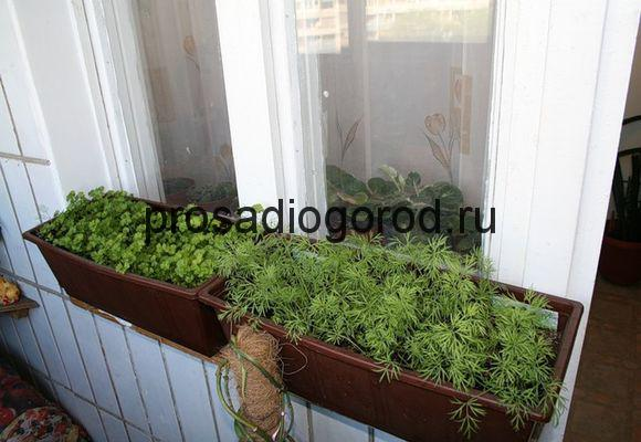 домашний укроп на балконе