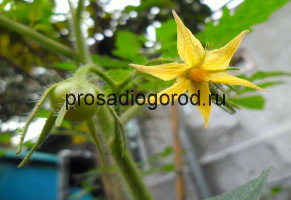 помидоры во время цветения