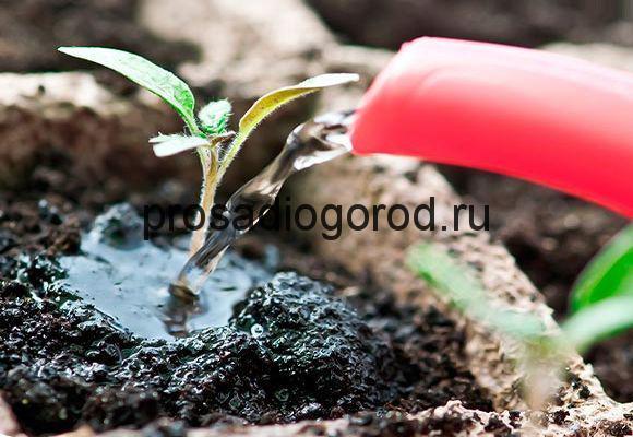 полив рассады помидор
