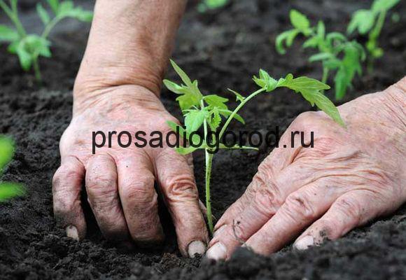 высадка рассады помидор в грунт
