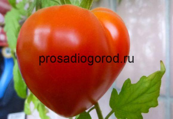 помидоры буденовка