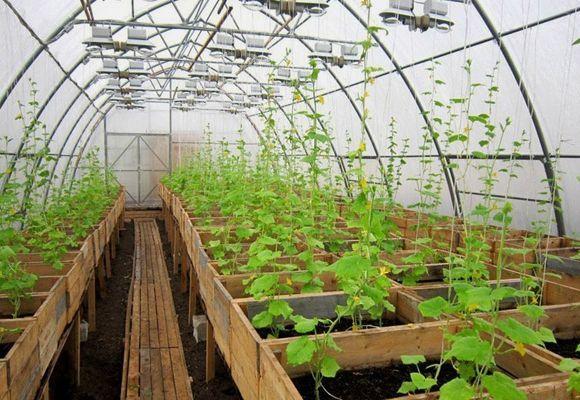 выращивание огурцов в поликарбонатной теплице