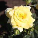 роза голдика