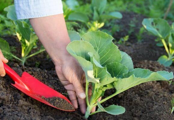 внесение удобрения для капусты