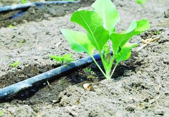 капельный полив для капусты