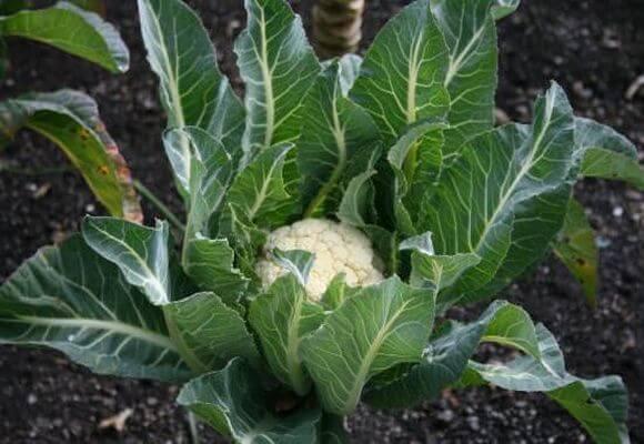 выращивание цветной капусте на огороде