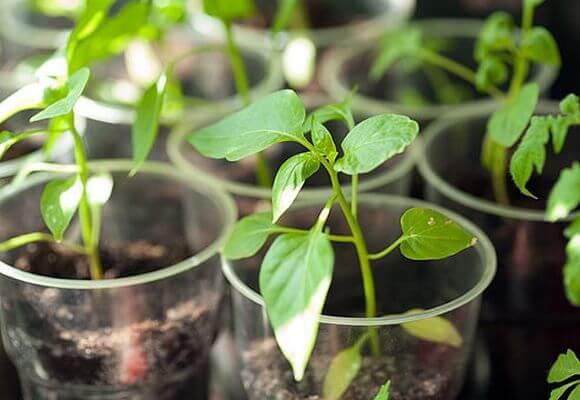 температура для выращивания рассады перца