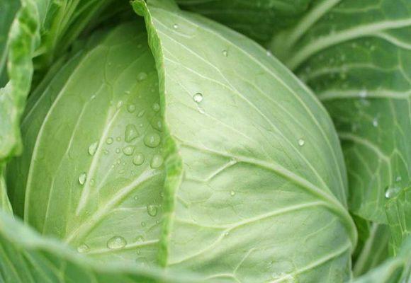 сорт июньской капусты