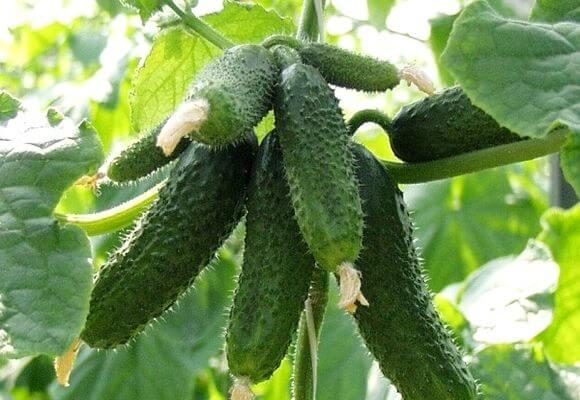 урожай сорта амур f1