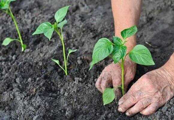 выращивание рассады перца в теплице
