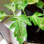 пятна на листьях рассады томатов
