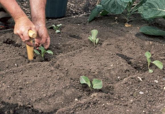 схема высадки рассады капусты