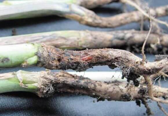 заболевание ножки капусты