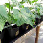 выращивание огурцов на гидропонике