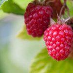 спелые ягоды на ветке
