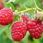 спелые плоды малины