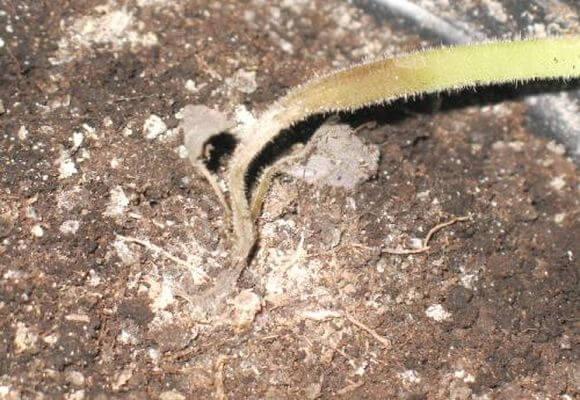 черная ножка гниль рассады