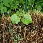 огуречный росток на соломе