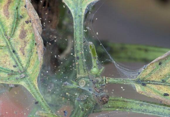 паутинный клещ на кусте