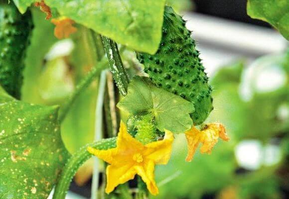 выращивание огурцов в закрытом грунте