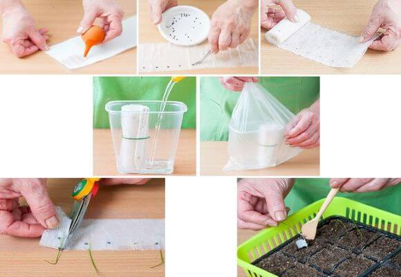 процесс выращивания семян на бумаге