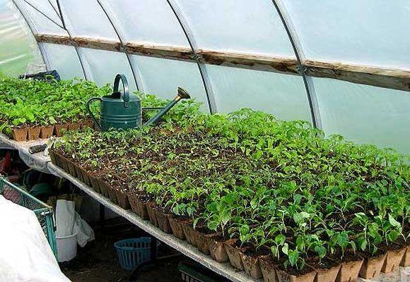 выбор сорта для выращивания
