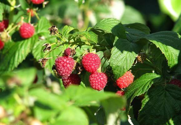 уход за ягодой