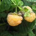 выращивание желтой ягоды