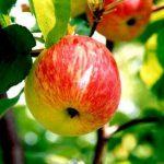 яблоня стелька