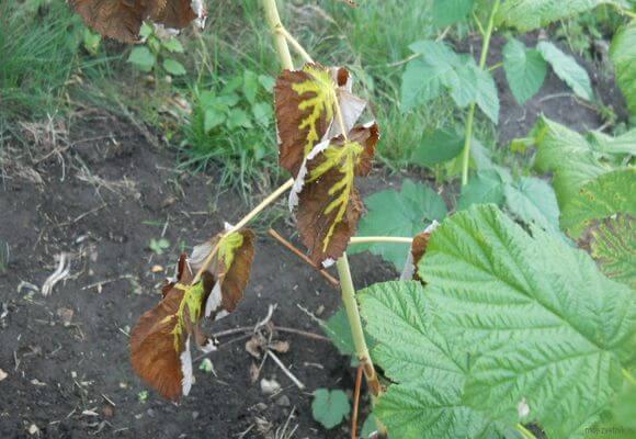 почернение листвы на кустах