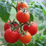 помидоры круглый год