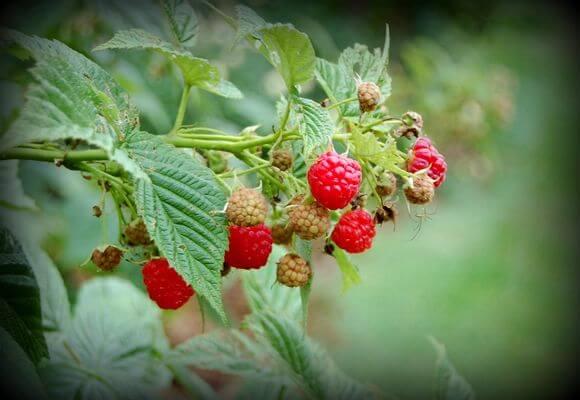 содержание кустов ягоды